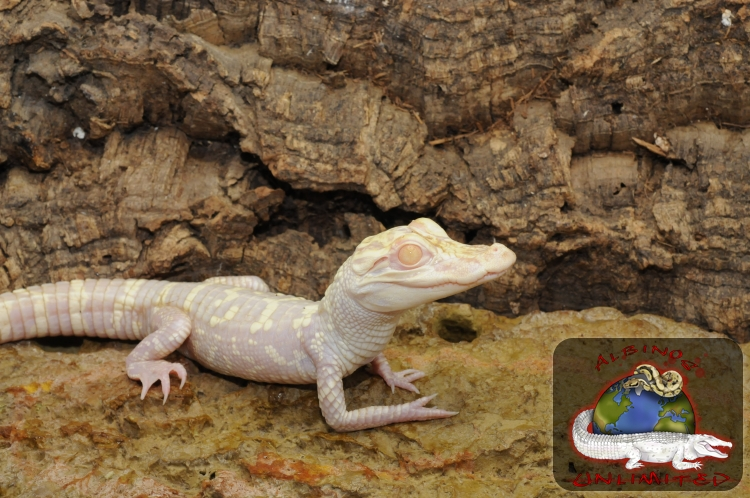 Baby Albino Alligator